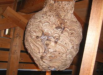 天井裏にできたキイロスズメバチの巣